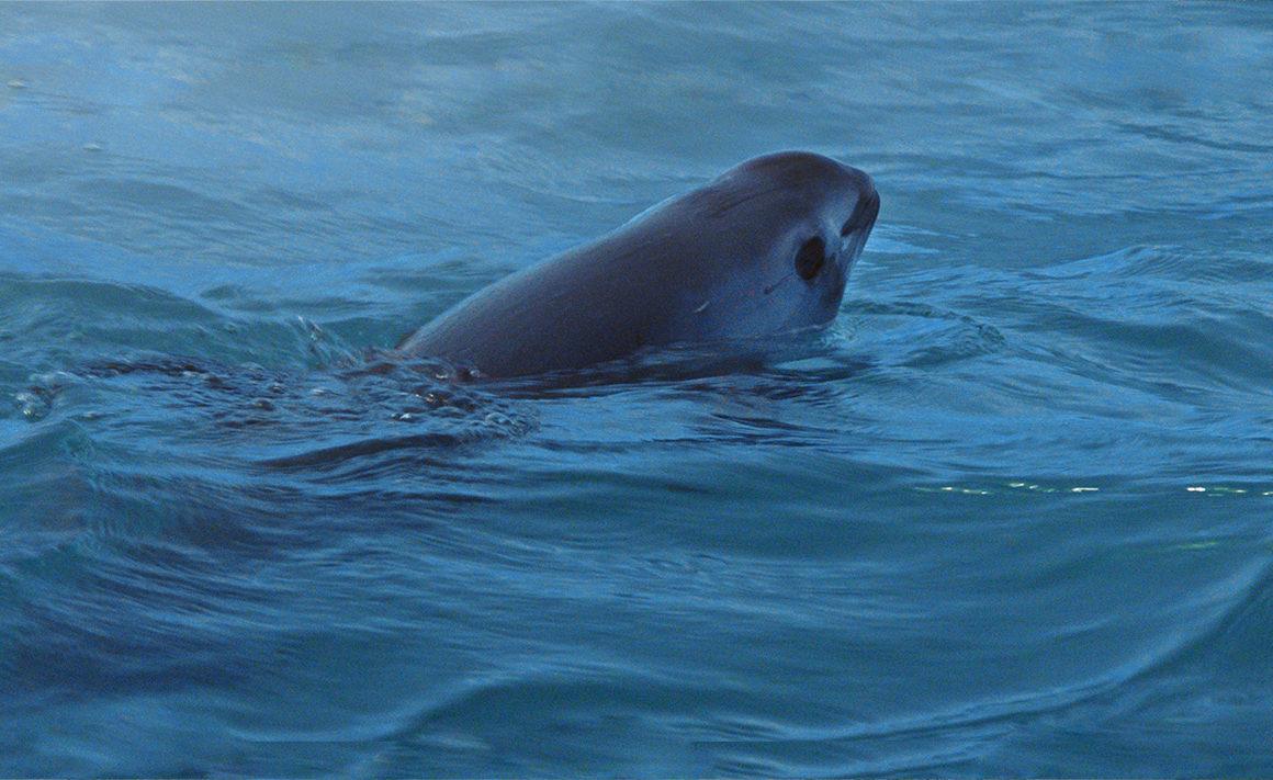 Sea Shadow - Vaquita Suncine