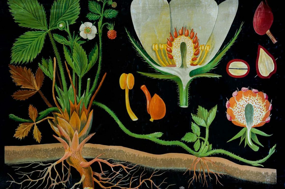 Fragaria vesca L. (fresa), Jung, Koch & Quentell'schen, Neuen Wandtafeln - Botanik, Nº 4 1892-1921 Cromolitografía en papel entelado con rastreles de madera Láminas murales para la enseñanza de la Botánica Herbario de la Facultad de Farmacia de la Universidad Complutense