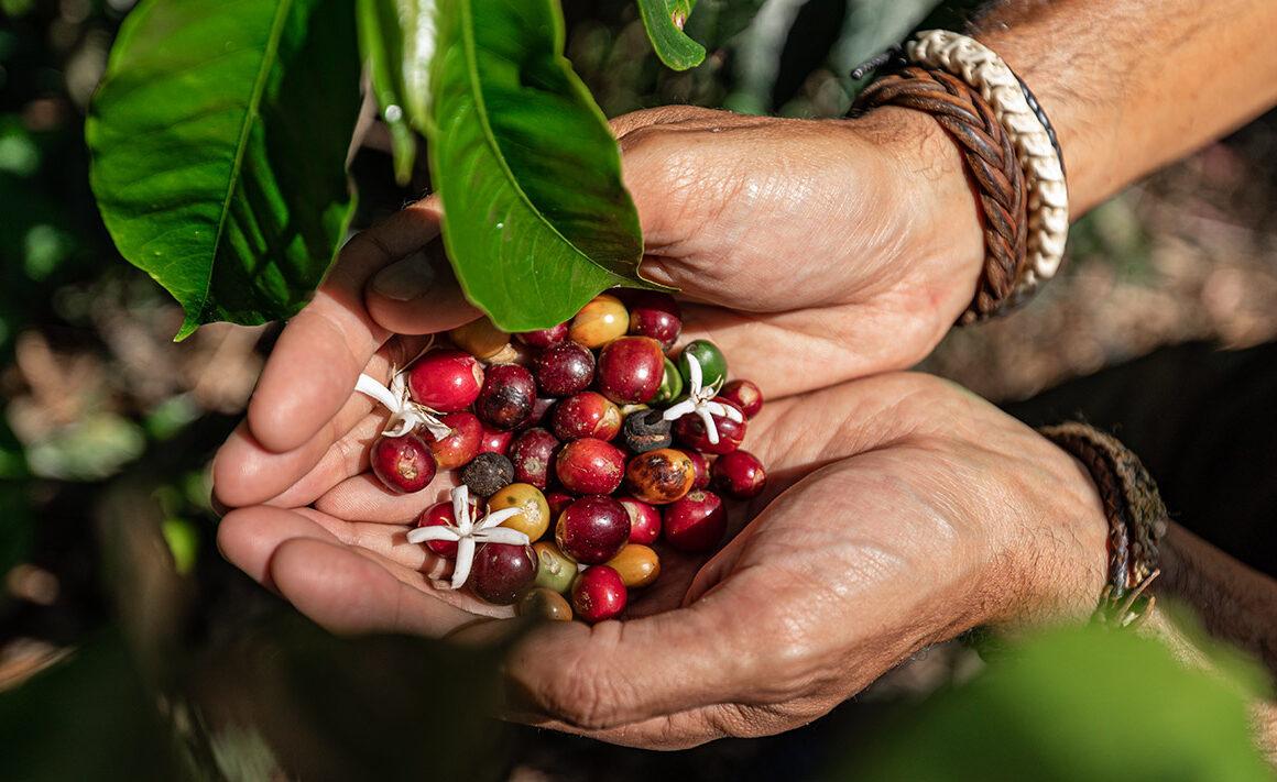 Hazte experto en café: El cafeto