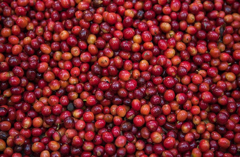 Las cerezas del cafeto