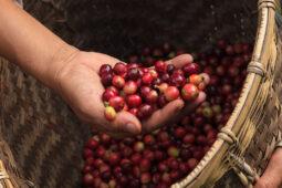 Hazte experto en café: el fruto del cafeto