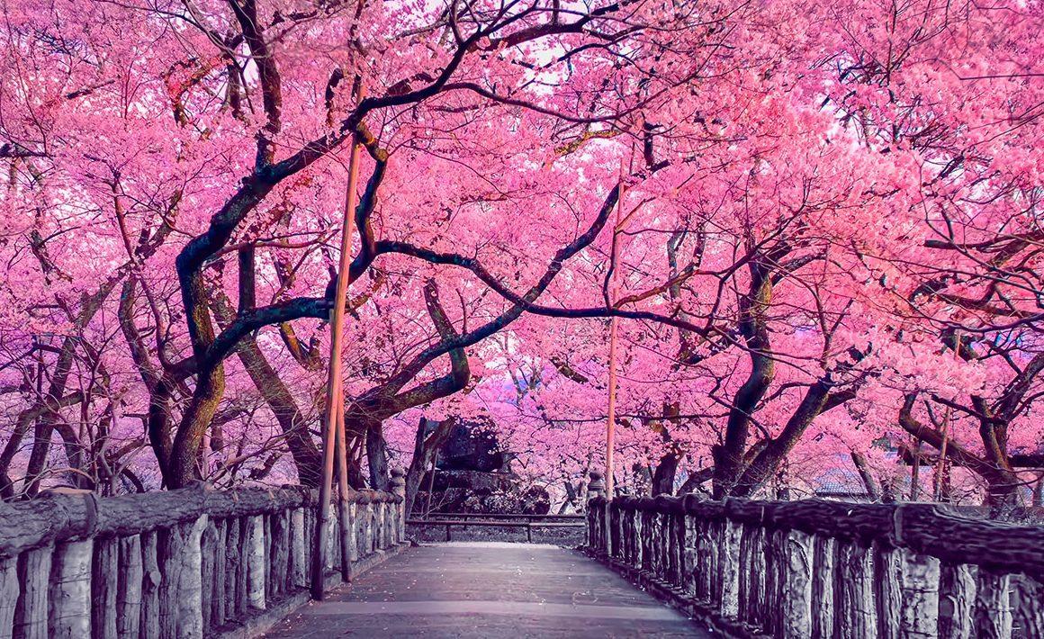 florecimiento cerezo