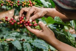 Las variedades del café