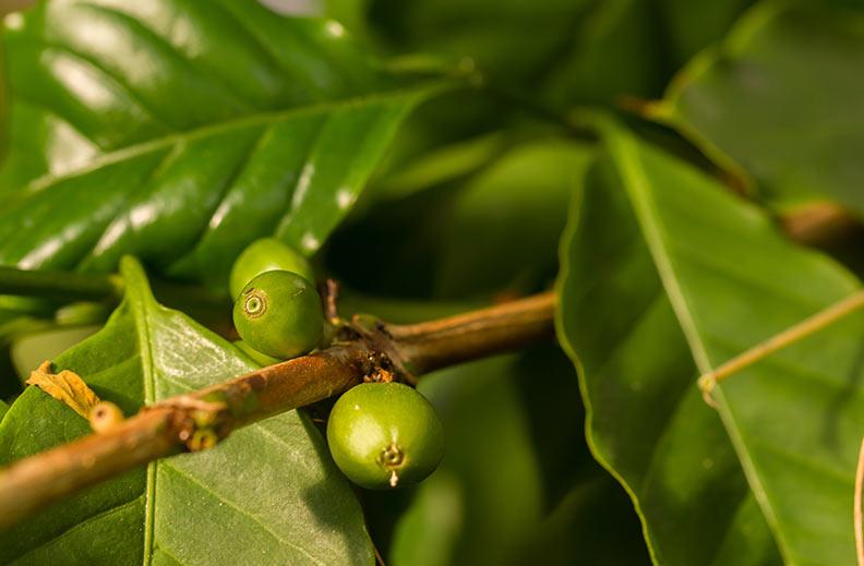 variedad café caturra