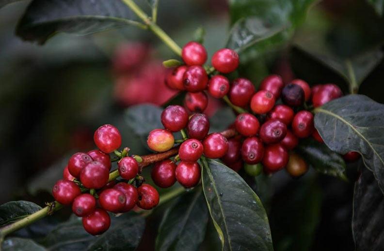 variedad café sl-28