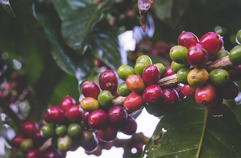 variedad café typica