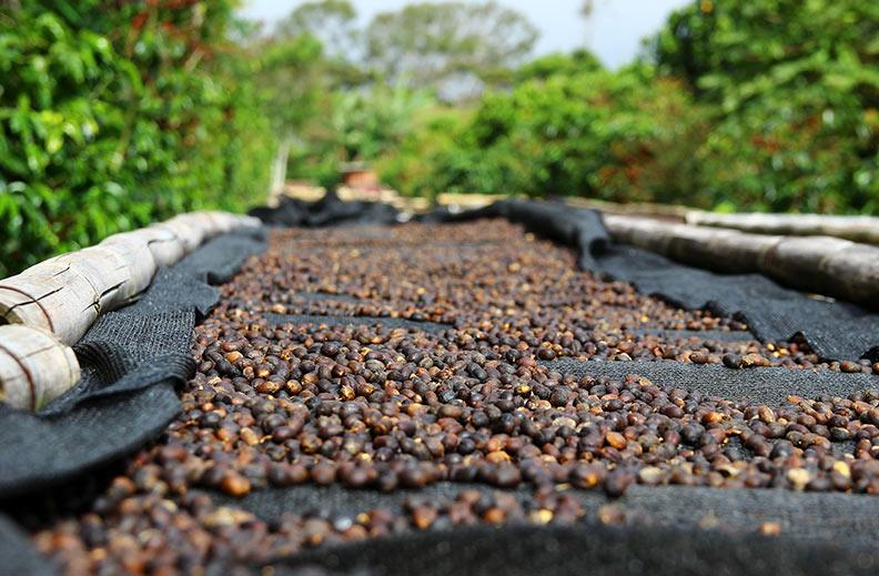 Hazte un experto en café: secado en cama