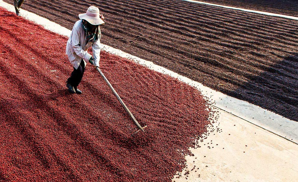Hazte un experto en café: Los procesos de secado